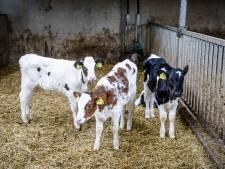 Kalverboer Schaijk dreigt met claim van half miljoen als hij geen nieuwe stal mag bouwen