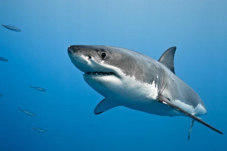 Tijdens een ochtendlijke zwempartij kwam een Australische mijnwerker per ongeluk tijdens een duik met een haai in contact.
