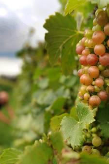 'n Goed glas: Elzasser wijnen droog of zoet?