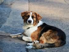 Tholen stopt in 2025 met heffen hondenbelasting