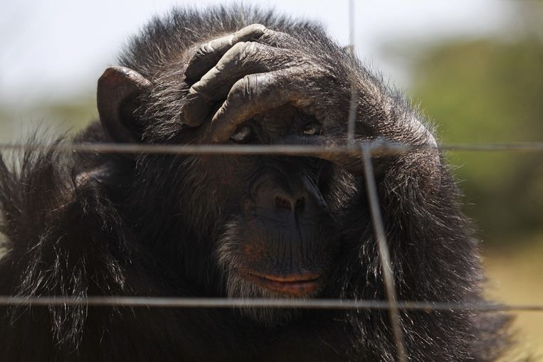 Een chimpansee in gevangenschap. Beeld epa