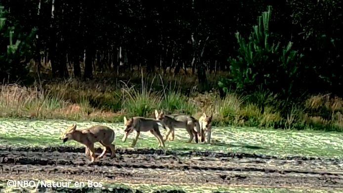 De wolvenwelpen in Limburg.