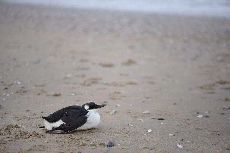 Een zeekoet op het strand. Is het dier besmeurd met olie? Breng het dan binnen in het Vogelopvangcentrum.
