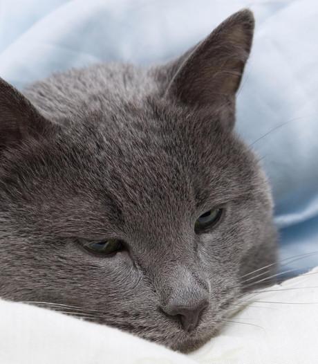 Dodelijke en zeer besmettelijke kattenziekte opgedoken in regio
