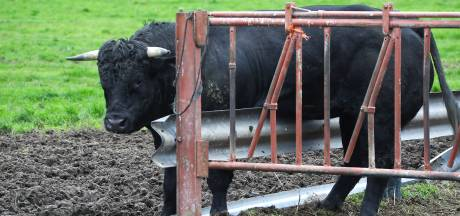 Stier bekneld in afrastering van weiland in Lithoijen