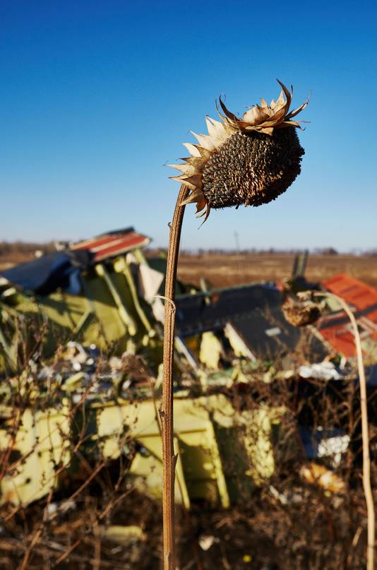 Uitgedroogde zonnebloemen in het rampgebied van de gecrashte vlucht MH17 van Malaysia Airlines in het oosten van Oekraine.