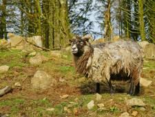 Dijkbouwer gezocht voor Schots eilandje met kudde zeldzame schapen
