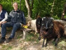 Zeldzame schapen huppelen achter René en Jolanda aan: 'Je kunt ze aaien en makkelijk verzorgen'
