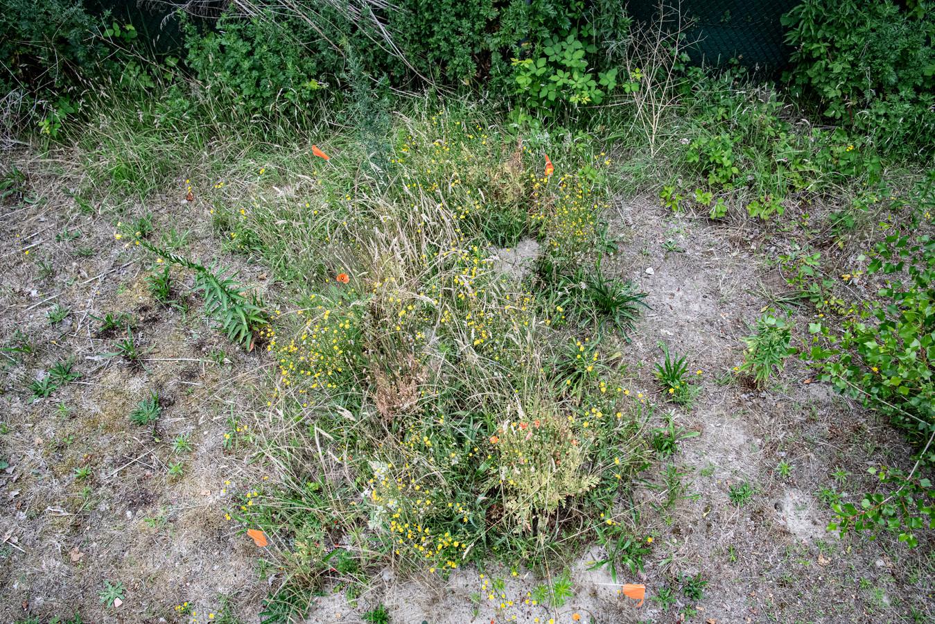 Het lijkt erop dat klaprozen het goed doen op het ontbindingsproces dat ondergronds bezig is, want een halve meter verderop - waar niemand ligt - steken geen bloemen tussen de grassprieten door.