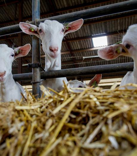 Provincie Gelderland opteert  voor stop geitenhouderijen