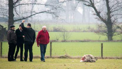 """Wolven bijten weer vier schapen dood in Helchteren, teller staat al op veertien in twee maanden: """"Deze keer hebben ze zelfs een dier doormidden gebeten"""""""