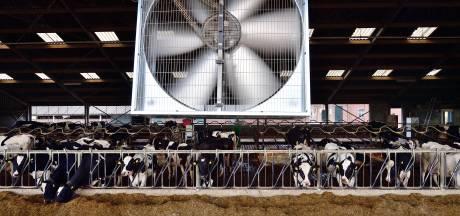 Hittestress bij koeien? Deze veehouder waait zijn koeien koelte toe