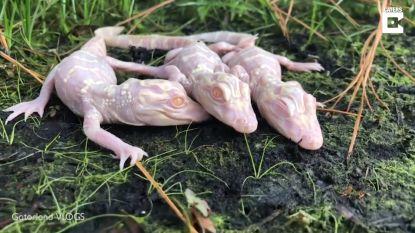 Schattig of angstaanjagend, deze drie kleine albino-alligators?