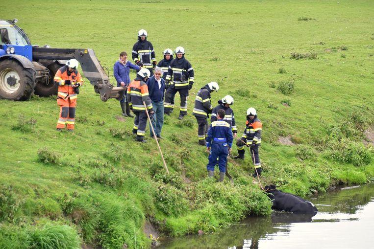 De brandweer trekt de koe weer op het droge.