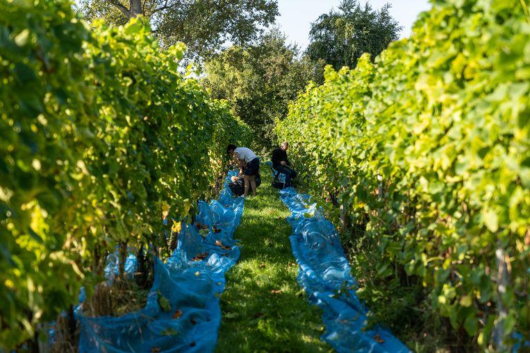 De wijnbouw in Oost-Vlaanderen groeit jaar na jaar: hier wijndomein Waes in Zwijnaarde.