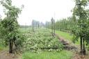 Volledige rijen fruitbomen gingen op verschillende plaatsen in de Groenstraat tegen de grond