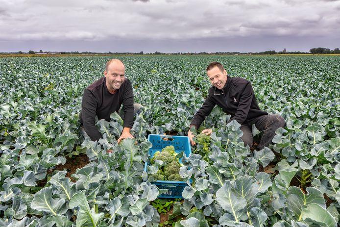 Martijn (links) en Peter (rechts) Verschuren kweken broccoli. Hier in het veld met op de achtergrond aan de horizon de snelweg A59 en rechts de Sint BavoKerk in Raamsdonk