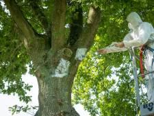 Gelderland zet sluipwespen in tegen eikenprocessierups
