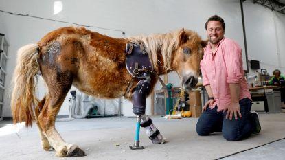 Schattige pony kan weer stappen dankzij 'Dr Doolittle van de dierenprothesen'