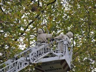 Brandweer vernielt nest Aziatische hoornaars