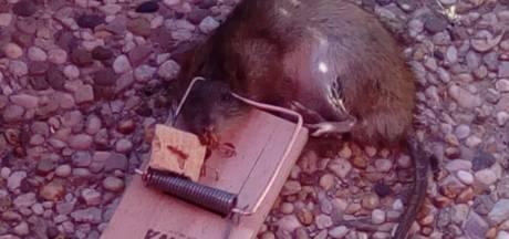 Rattenvanger van Raamsdonksveer vangt ze met pindakaas, zonnebloempitten en vogelzaad