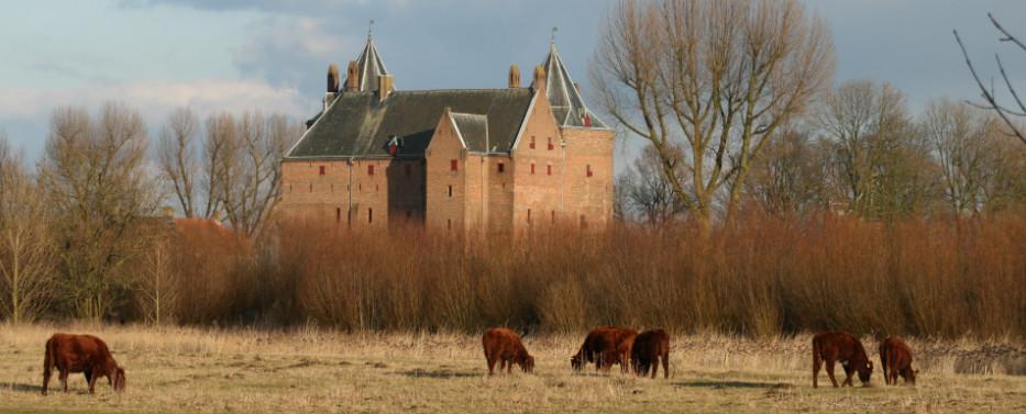 Rode Geuzen grazen bij Slot Loevestein.