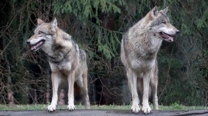 Duitsland versoepelt regels voor doodschieten van wolven
