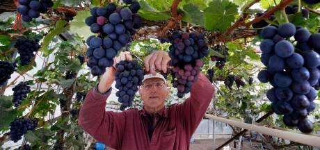 Geen supermarktdruif voor Gerrit (82), hij kweekt ze liever zelf in zijn kas