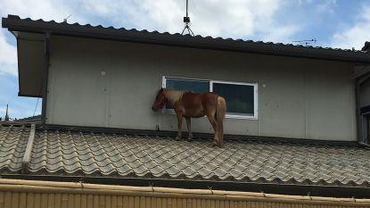 Paardje wordt meegespoeld door kolkend water en eindigt op... dak van huis