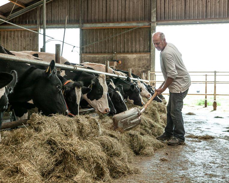Melkveehouder Jan Dijkshoorn voert zijn koeien gras van de buurman. Beeld Harry Cock