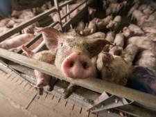 Buren varkensfokker zijn mestlucht zat: 'Stank is onleefbaar'