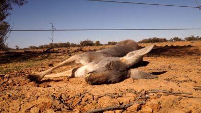 België is grootste importeur van kangoeroevlees, maar na oproep Gaia stopt nu ook Delhaize met de verkoop