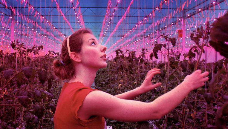 Een tomatenplukster in een kas in Tinte waar duizenden rode ledlampjes worden gebruikt. Die zouden de groei van de vruchten bevorderen. Beeld Joost van den Broek