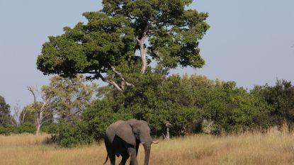 Mysterieuze sterfte onder olifanten in Botswana: ruim 150 dieren overleden op een paar maanden tijd