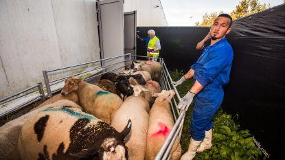 Laatste Offerfeest met onverdoofd slachten in Vlaanderen. Wat haalt het uit en wat zullen moslims volgend jaar doen?