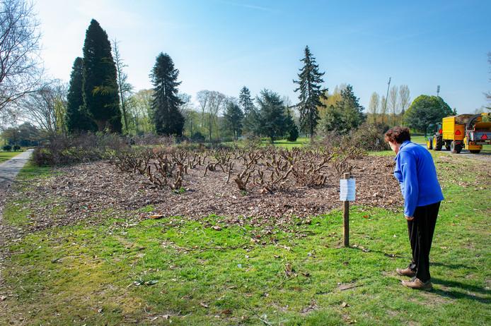 Een van de vier plekken waar in het Goffertpark teruggesnoeide rhododendrons staan.