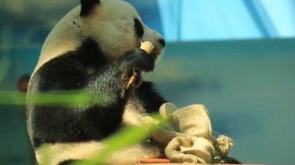 2.000 bezoekers zakken af naar zoo om verjaardag van panda te vieren