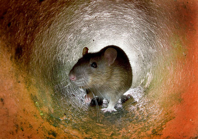Zeker een kwart van de ratten is resistent tegen het gif dat wordt gebruikt om de beesten te bestrijden.