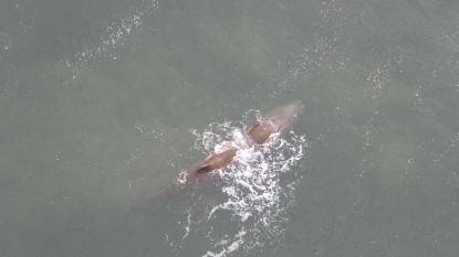 Verdwaalde potvis voor Nederlandse kust sterft natuurlijke dood