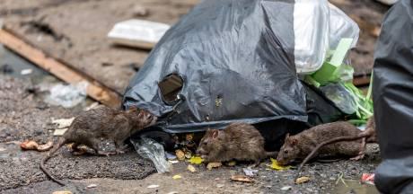 Rattenplaag op begraafplaats in Bemmel: 'Dit heb ik nog nooit meegemaakt'
