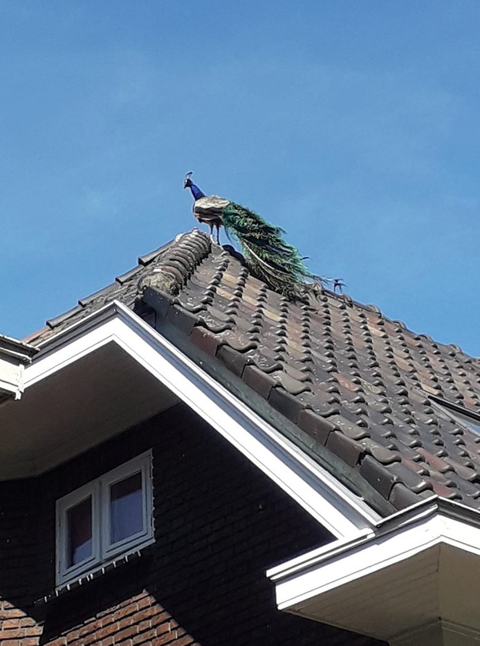 Een pauw op het dak.