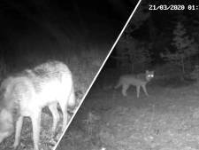 Deze exclusieve beelden bewijzen het: de wolven op de Noord-Veluwe breiden hun territorium uit