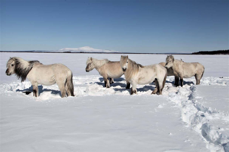 Paarden in het Pleistoceen Park, Siberië.