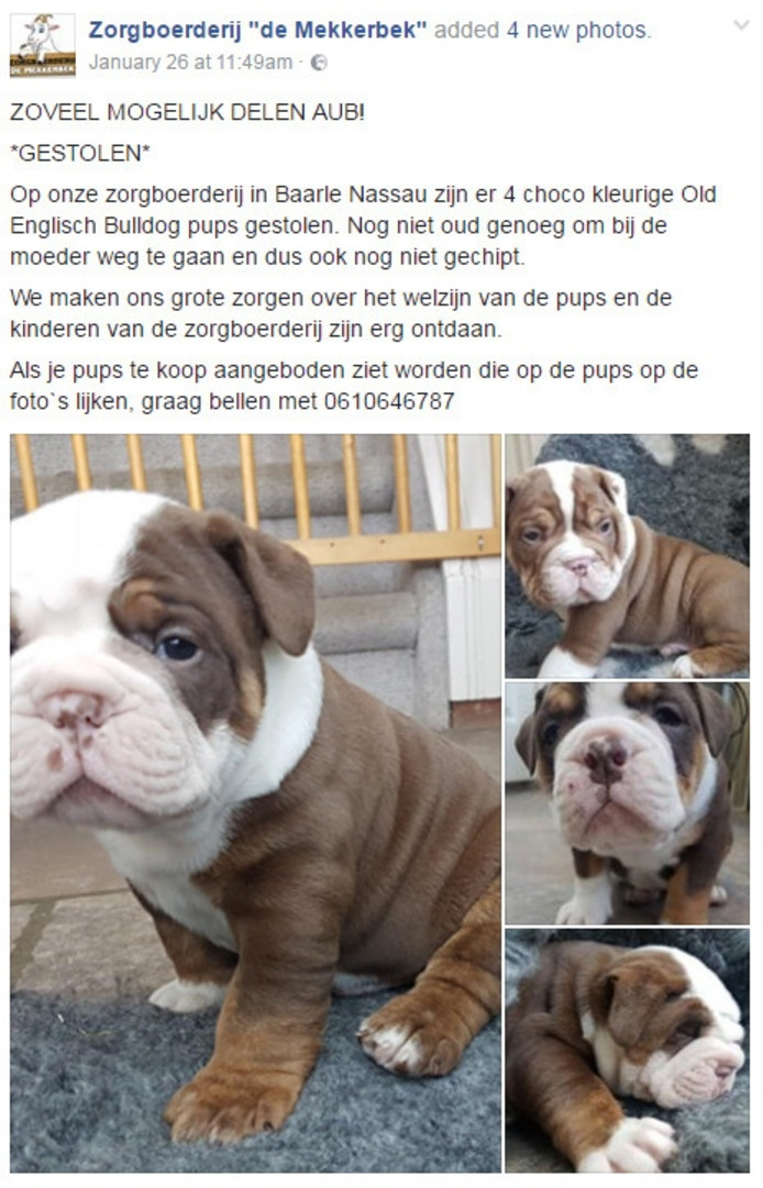 BAARLE-NASSAU/BREDA - Eén van de vier zeldzame puppy's die woensdagnacht werden gestolen bij zorgboerderij De Mekkerbek in Baarle-Nassau, is teruggevonden. Agenten hebben een 22-jarige vrouw op verdenking van heling opgepakt. Dat meldt de politie aan BN DeStem.