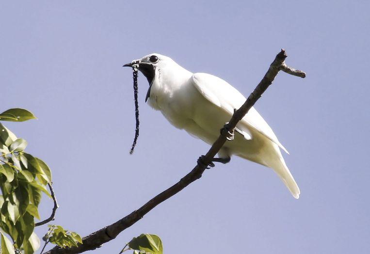 De witte klokvogel