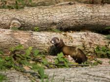 Beschermde bunzing leidt tot roep om uitstel van kap bos Elderveld in Arnhem