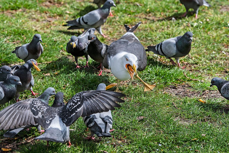 Begin april: duiven met frietjes hebben een meeuw afgetroefd. Beeld Guus Dubbelman / de Volkskrant