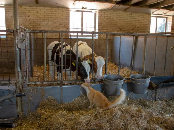 De koeien houden van de kat in Overasselt