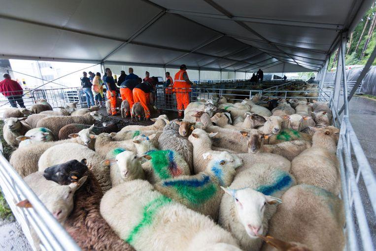 In de stedelijke werkplaatsen van Genk zijn gisteren ongeveer 700 schapen geleverd.