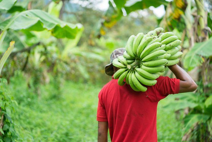 Bananenboeren verdienen beter, vinden de supermarkten.